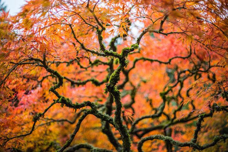 Japan Trees