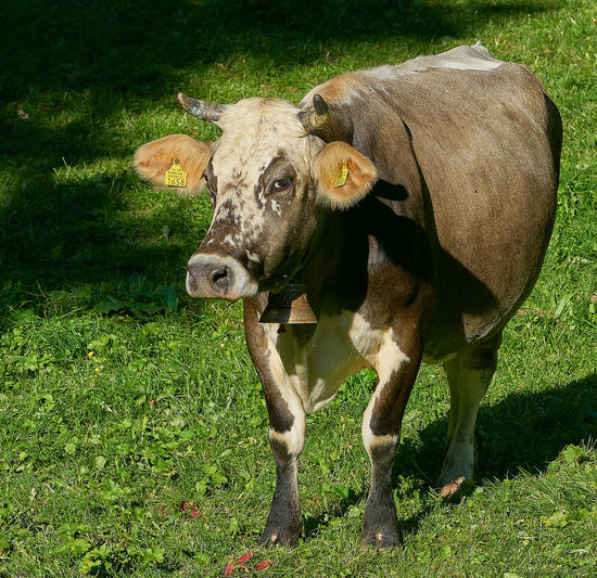 Ballenberg Animal Themes Cows Day Domestic Animals Happy Animal Mammal Nature No People One Animal Outdoors Swiss Animal Switzerlandpictures