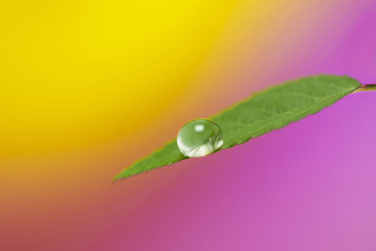 Droplet Rosé Leaf Water Drop Droplet Macro Macro Photography Studio Shot Studio Shot Colored Background Multi Colored Pink Background Close-up Green Color Refraction Blooming Plant Life Focus Blade Of Grass RainDrop Wet Leaf Vein Leaves