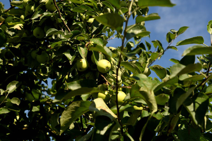 Fruit in the Garden Plants Poland Polska, Beauty In Nature Close-up Day Food Fruit Fruit Growing Garden Green Color Greenery Growth Lato Leaf Nature No People Outdoors Plant Plant Part Summer Tree