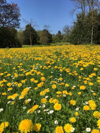 Crowfoots Buttercups Ranunculus Yellow Plant Flowering Plant Flower Yellow Growth Field Beauty In Nature Freshness No People Landscape Sky Nature