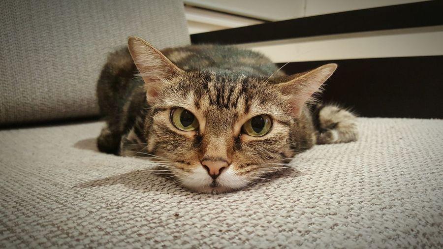 TabbyCat Cats