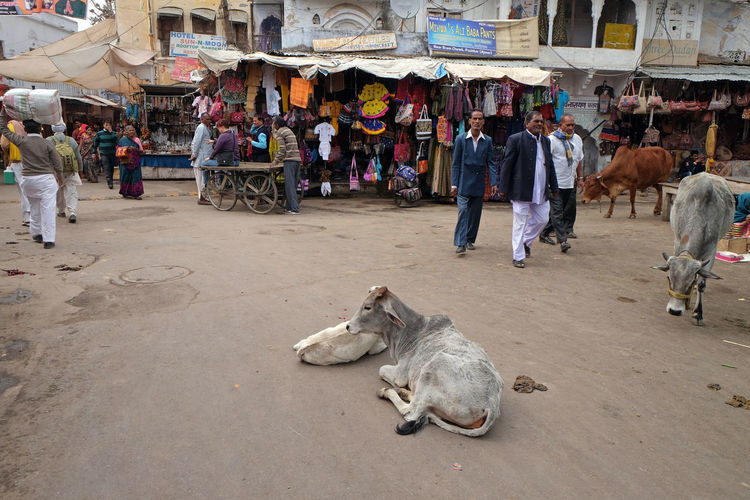 Cows resting in