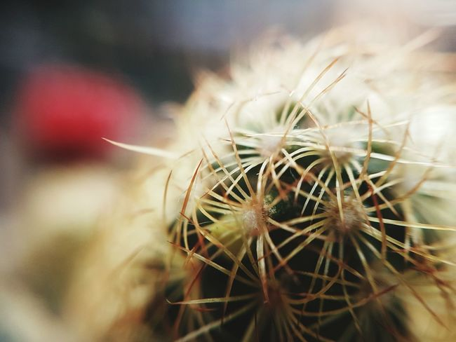 Cactus or not? Plant Close-up Nature Outdoors Growth Agriculture No People Day Beauty In Nature Macro Close Up Desert Xerophytes Thorns Spines Fuzzy Cactus Wooly Fuzzy Furry Cactus Collection Cactusporn Cactuslover Cactus Beauty In Nature Fragility