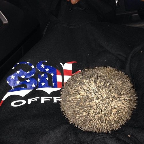 Catchoftheday Hedgehog Sdhq sorry @sdhqryan about the hoodie ??? دعلي