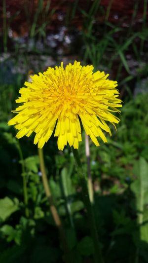 Anche i fiori gialli che fanno i soffioni hanno la loro dignità. ..