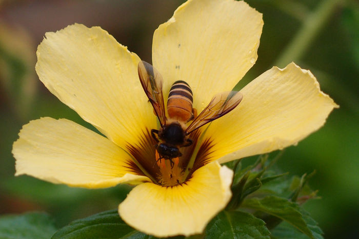 Flower and bee Malaysia Truly Asia Perak Taiping A Animal Themes Animals In The Wild Beauty In Nature Blooming Close-up Day Flower Flower Head Fragility Freshness Growth Insect Insects  Malaysia Nature No People One Animal Outdoors Petal Plant Yellow