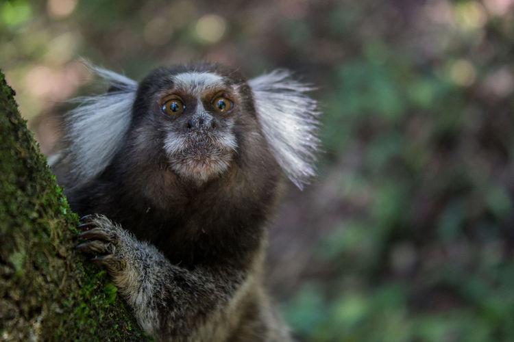 Alertness Animal Hair Animal Themes Animals In The Wild Beauty In Nature Branch Day Focus On Foreground Lemur Looking At Camera Mammal Nature No People One Animal Outdoors Tranquility Wildlife Zoology