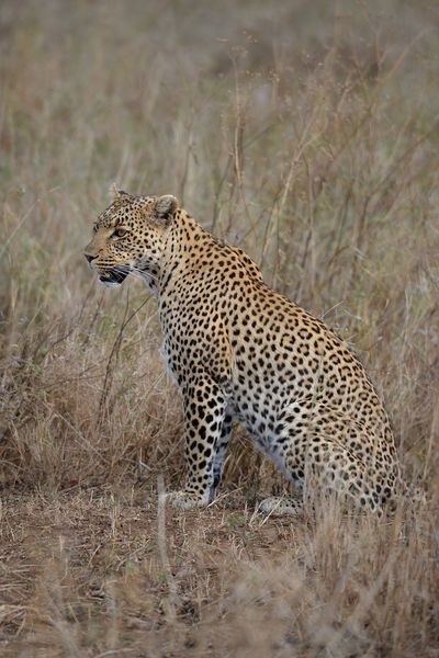 Leopard Wildlife in the Serengeti of Africa. Wildlife Wildlife & Nature Wildlife Photography Africa African Beauty African Safari African Wildlife African Wild Cat African Wild Life Leopards Leopards Are Nocturnal Leopards Are Dangerous Big Cats Leopard Print Leopards Are Solitary And Shy Big Cats Leopard Big Cats Big Cats Leopard Photo Wildcats Wildcats All Day Everyday