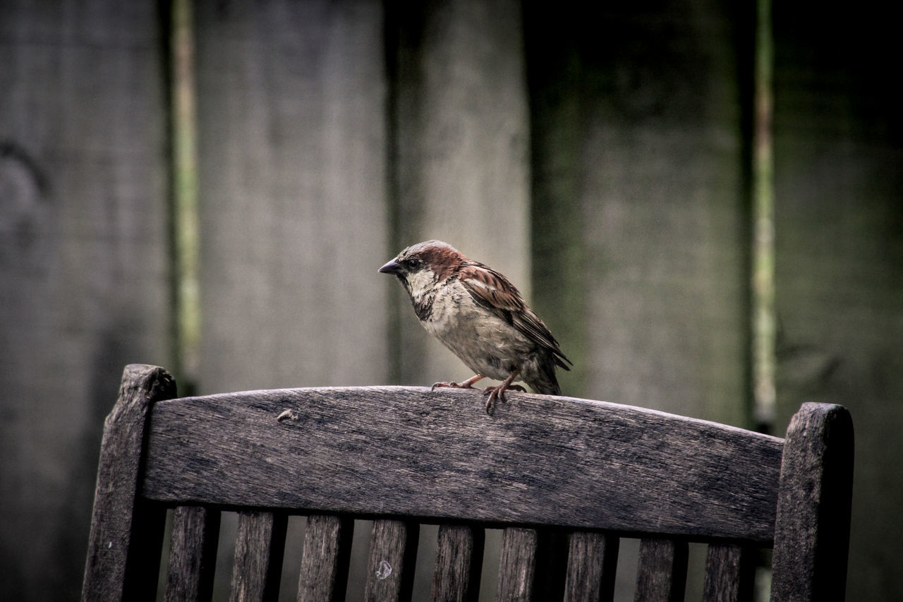 bird, perching, animal themes, one animal, animals in the wild, railing, wood - material, focus on foreground, animal wildlife, no people, day, outdoors, wooden post, sparrow, close-up, nature