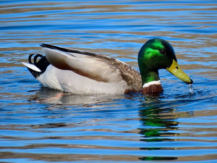 Mallard duck water bird swimming birdwatching closeup beauty in nature animal themes Water Animal Wildlife Bird Male Animal No People