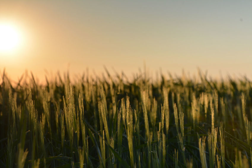 Golden Sunset Sunny Evening The Great Outdoors - 2016 EyeEm Awards Inspiring Nature Nature Photography Camera Practice Fieldscape Blurred Background Soft Details