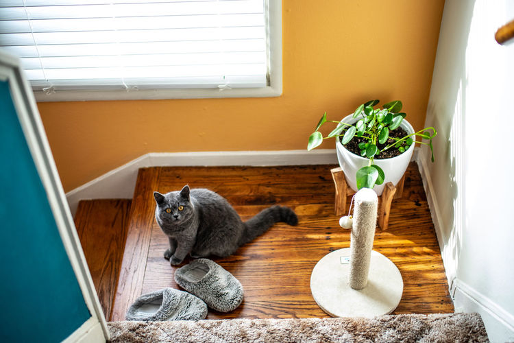 Animal Themes Animal Mammal One Animal Domestic Cat Feline Pets Domestic Animals Domestic Cat Window Vertebrate Indoors  No People Sitting Relaxation Potted Plant Day Window Sill Looking Whisker
