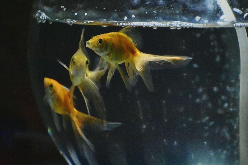 Nature Fish Goldfish Water Aquarium Close-up Fish Bowl Night Nightphotography Night Lights Low Light