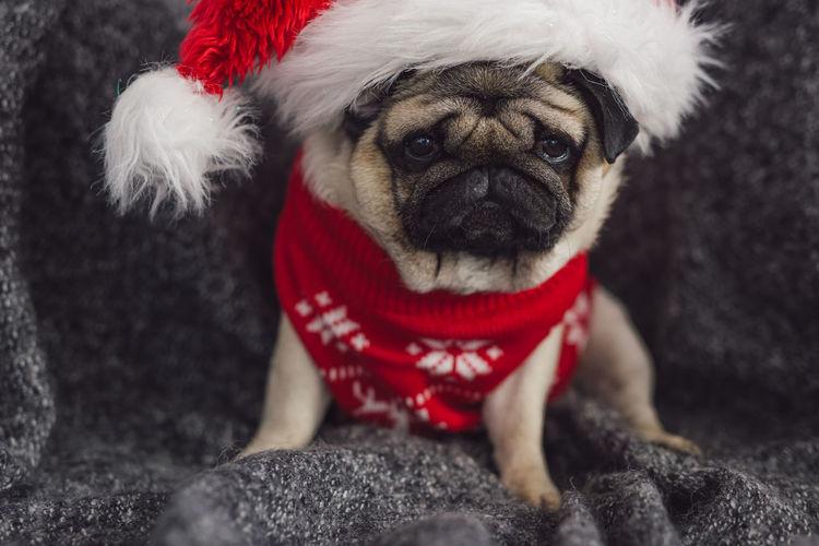 Christmas Pug Animal Themes Christmas Christmas Decoration Christmas Dog Christmas Hat Close-up Day Dog Domestic Animals Indoors  Looking At Camera Mammal No People One Animal Pets Portrait Red Sitting