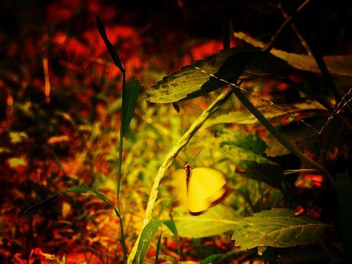 Nikon P900 Garden Photography Butterfly Vscocamedit Snapseed Editing  Eeyemedit