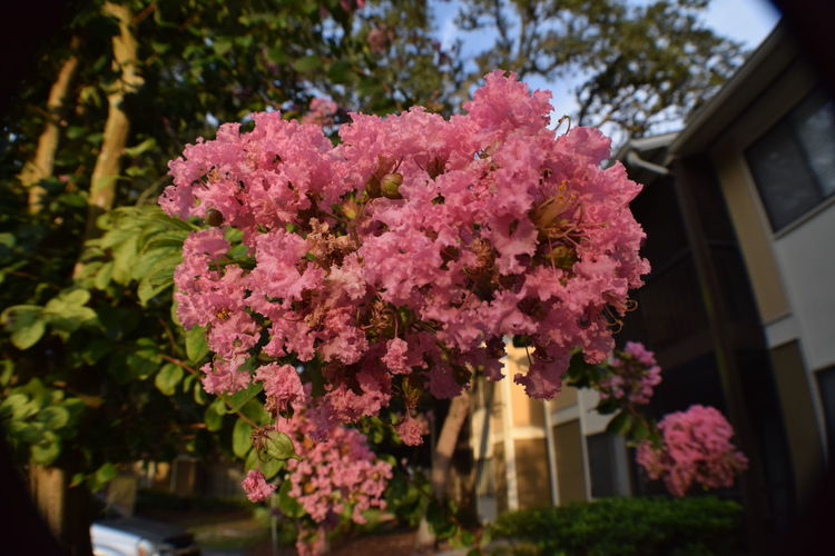 Pink myrtle in