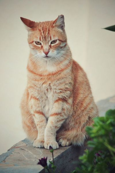 Portrait of a serious ginger cat Ginger Cat Serious Cat Portrait Of A Cat Cat Cat Portrait Cat Photography