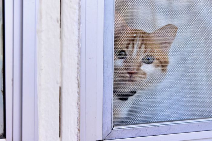 Close-up Indoors  Neko Four Legs And A Tail Feline Kitty Cat Pets Cat Watching Hello Oh Hai Dere At The Window