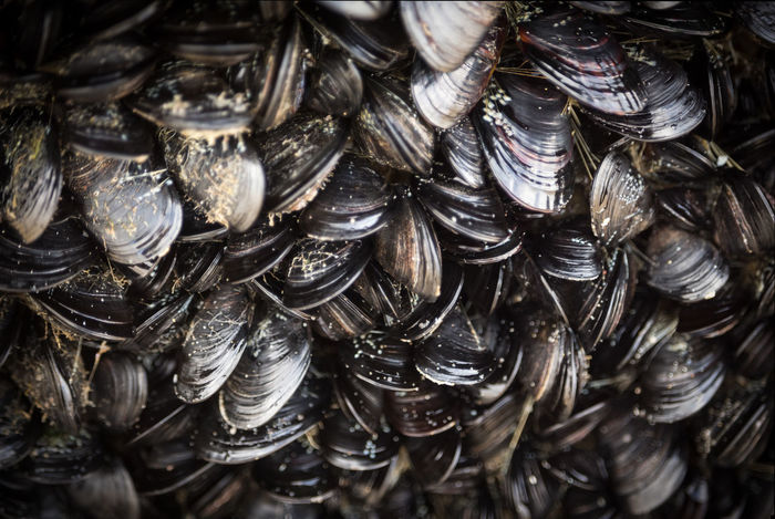 Mussels Galore! Fill The Frame SHELLFISH  Sealife Close Up Close Up Nature Close Up Photography Close-up Closeup Closeupshot Filltheframe Mussel Mussel Shell Mussels Mussels Galore Mussels! Musselshell Shell Shell Photography Shells