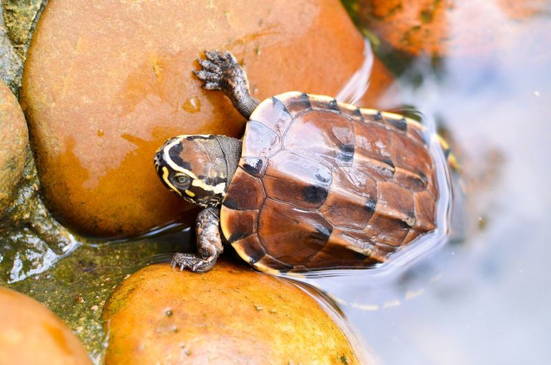 turtle Animal Animal Themes Close-up Invertebrate Nature Animal Shell Turtle Water One Animal