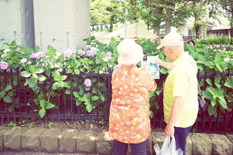Flowers 紫陽花 あじさい 白山神社 子供向けに、布バッグにあじさいの絵を描くイベントをやってたのだけど、このご夫婦の絵がうますぎて。
