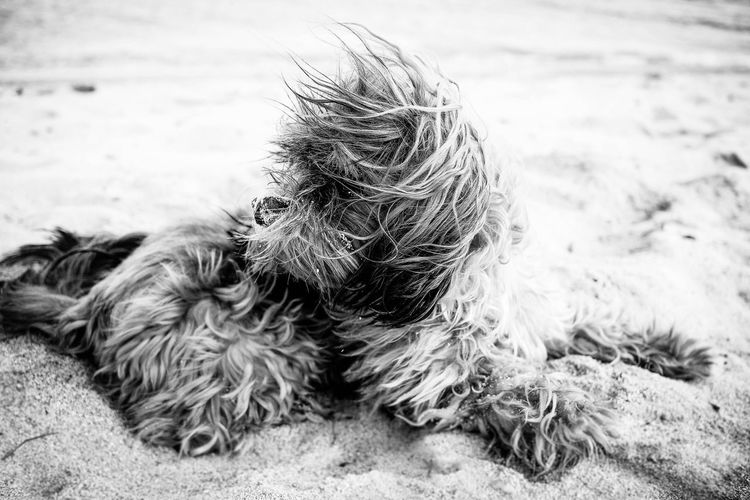 Amadeo | France Animal Hair Animal Themes Close-up Day Dog Domestic Animals Focus On Foreground Full Length Hairy  Mammal Nature No People One Animal Outdoors Pets Sand
