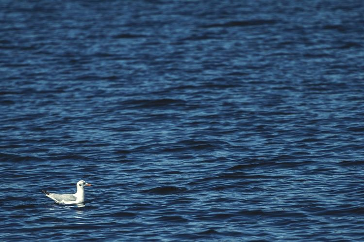 Side view of a bird in rippled blue water