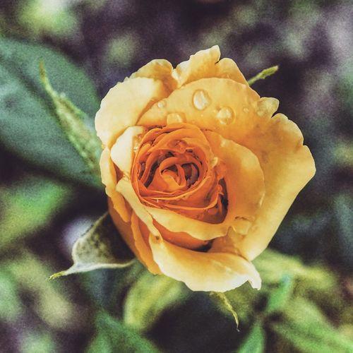 sarı gül Flower