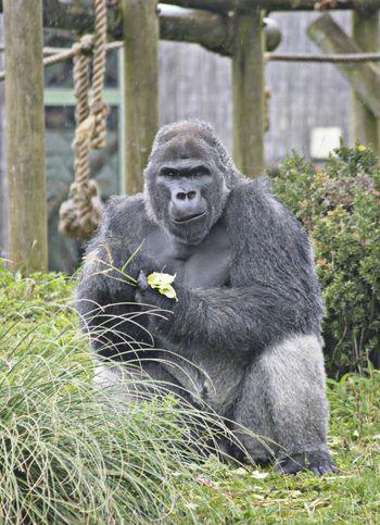 Gorilla, Bristol zoo Bristol, England Bristol Bristol Zoo Gorilla