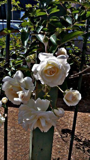 Rosas Rosé Flowers Plant Nature Natureza Flores Flores Y Más Flores Flower Photography Rosasbrancas RosesWith Flores E Folhagens Flowers,Plants & Garden Flowers, Nature And Beauty