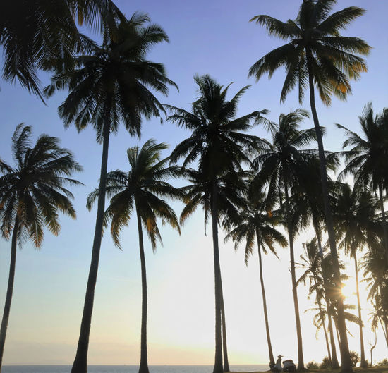 Low angle view of coconut palm trees against clear sky