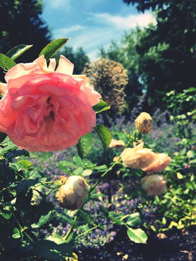 Flower Growth Nature Beauty In Nature Fragility Plant Petal Freshness Flower Head Outdoors Day Blooming No People Focus On Foreground Rose - Flower Close-up Leaf Pink Color Rose🌹