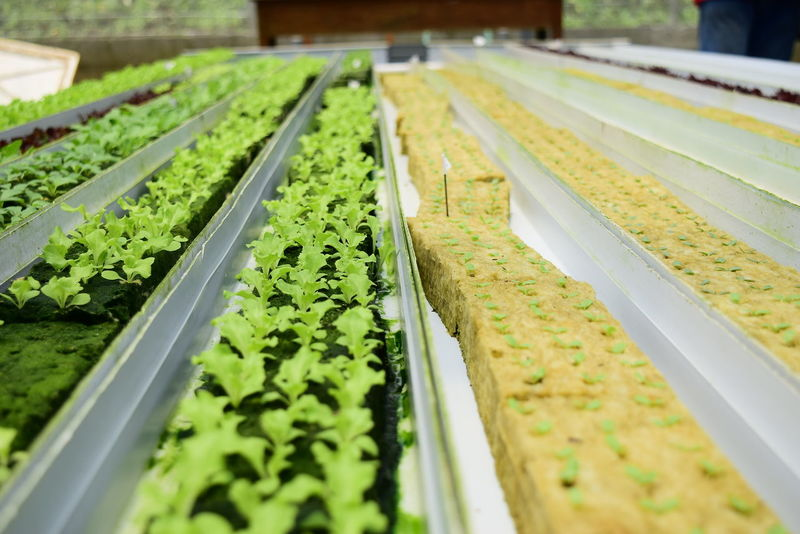 hydroponic technology that produces fresh and healthy vegetable plants Selective Focus Green Color In A Row Variation Nature Order Plant Nursery Greenhouse No People Food Plant Vegetable Vegetarian Food Vegetables Hydroponics Hydroponic Vegetables