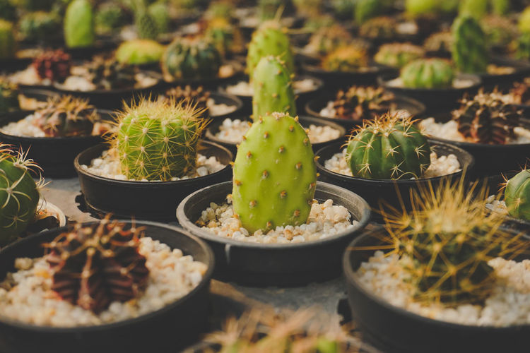 High angle view of cactus growing in potted plant