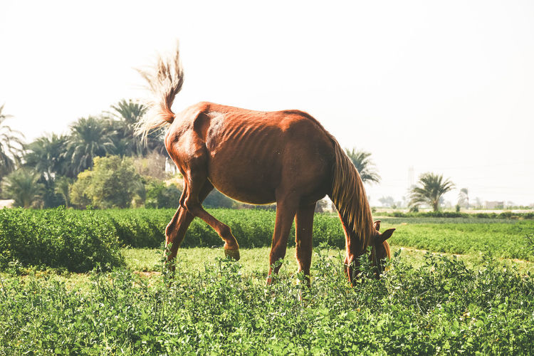 Arabian horse grazing on field against clear sky