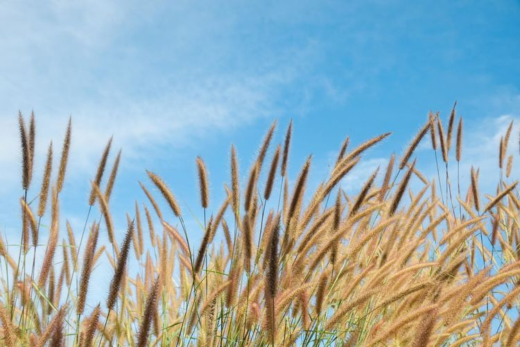 Close-up of stalks in field against blue sky