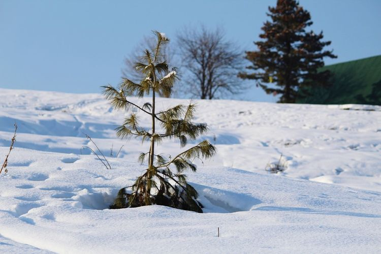 Trees on snow field against clear sky