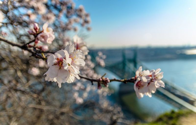 Close-up of fresh cherry blossom blooming against liberty bridge