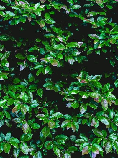 Growth Green Color Plant Leaf Full Frame Plant Part Nature Close-up Freshness Lush Foliage Day Water Outdoors Beauty In Nature Botany Backgrounds No People Foliage Tranquility RainDrop