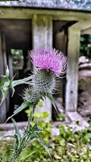 Perfect Scottish Thistle. Scotland Scottish Flower Thistle Thistle Flower Flower Head Flower Purple Insect Close-up Animal Themes Plant Blooming In Bloom Thistle Petal Pollination Plant Life Blossom EyeEmNewHere