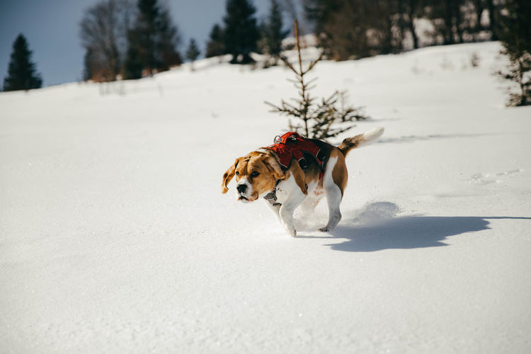 Beagle dog running in the snow Dog Canine Pets Domestic Domestic Animals Cold Temperature Animal Themes Animal Snow Nature White Color Snowcapped Mountain Winter Winter Wonderland Hunting Hunter Dogs Of EyeEm Dogslife Dog Love Beagle Beaglelovers