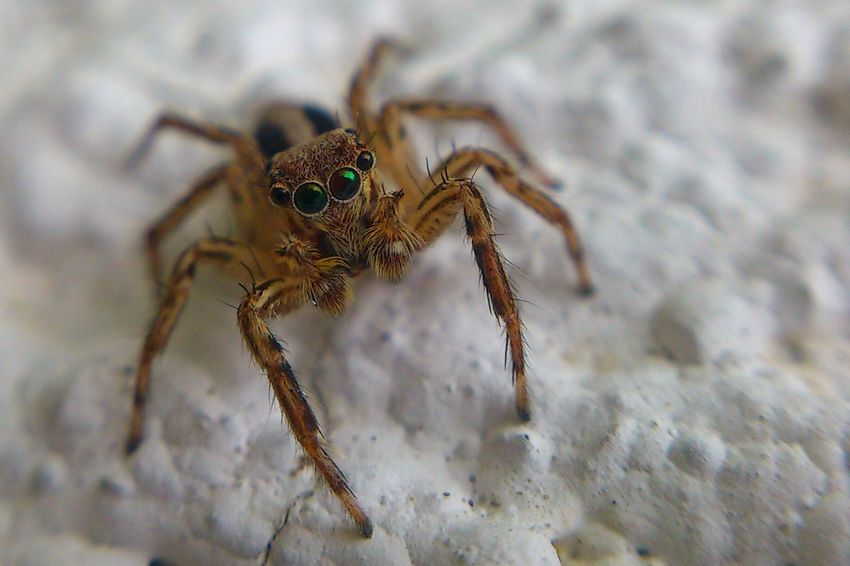 Jumper Spider Macro Nature Macro Photography Macro Nature Mobilephotography Sony Xperia Xperia Ray Nature's Diversities The OO Mission