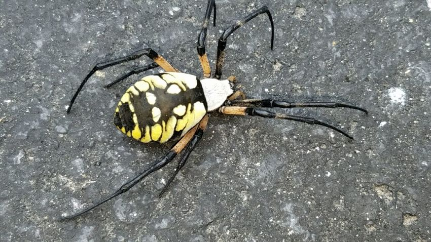 Insect High Angle View Directly Above No People Outdoors Animals In The Wild Animal Themes One Animal Day Close-up Nature Spider Orb Weaver Spider Isn't She Lovely? Backyard Photography The Week On EyeEm Summer Beauty In Nature Healthy Eating Pet Portraits Paint The Town Yellow