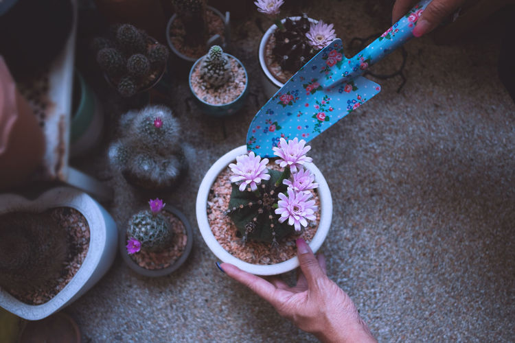 High angle view of woman holding a pot of cactus in her garden