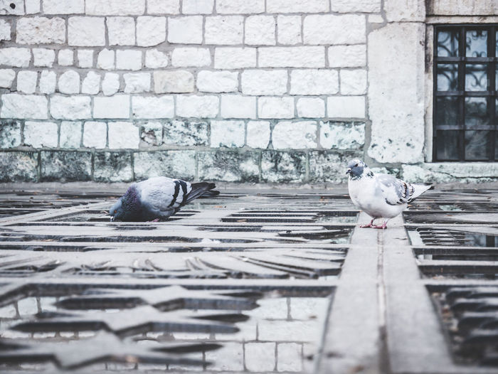 Two pigeons