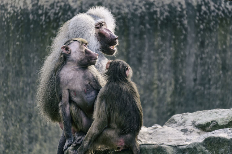 Three Baboons at the zoo Berlin Germany 🇩🇪 Deutschland Horizontal Mamal Zoo Animal Baboon Color Image In Captivity Male Monkey Outdoors Rocks Zoological Garden Zoology