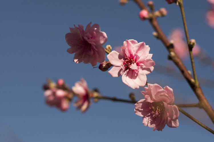 Low Angle View Of Plum Blossoms Growing On Tree Against Sky