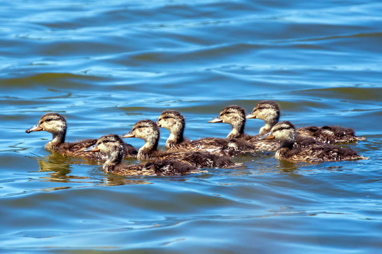 Ducklings Swimming On Lake