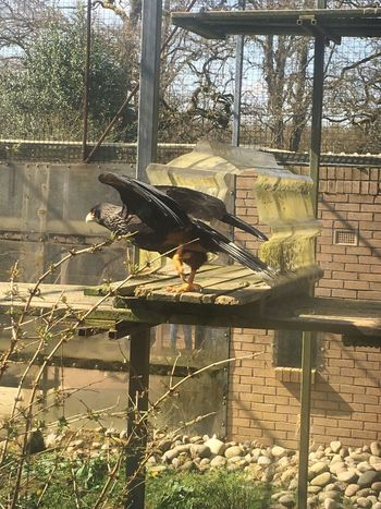 Bird Spread Your Wings Animal Wildlife No People Outdoors Perching Animals In The Wild Animal Themes One Animal Beauty In Nature CaraCara Bird Of Prey
